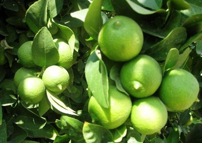 برداشت لیمو ترش در نیکشهر آغاز شد