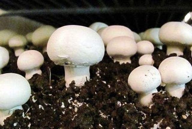 چه کسانی نباید قارچ مصرف کنند؟