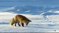 همکاری مردم در صورت نزدیک شدن احتمالی گونه های حیات وحش به مناطق مسکونی به دلیل بارش برف