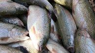 برداشت ماهی قزل آلا در سیستان و بلوچستان آغاز شد