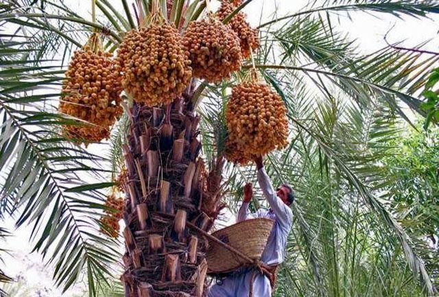 ۵هزار تن خرمای نخلداران استان بوشهر روی دست نخلداران و تجار مانده است