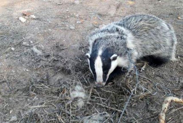 اطلاع رسانی شخص دلسوز حیات وحش ؛جان یک گورکن را نجات داد