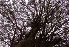 قطع و جابهجایی هر گونه درخت در اماکن عمومی نیازمند مصوبه از کمیسیون ماده 7  است