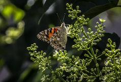علت اصلی زیاد شدن پروانه ها در آذربایجان غربی چیست؟