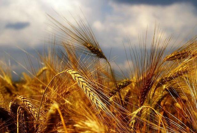 بهای خرید تضمینی گندم کشاورزان به روز پرداخت میشود