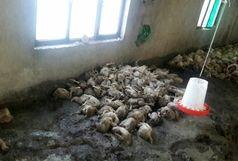 تلف شدن بیش از ۲ هزار مرغ در املش