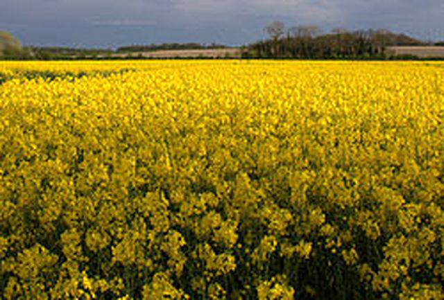 سال آینده 260 تن کلزا از مزارع محلات برداشت می شود