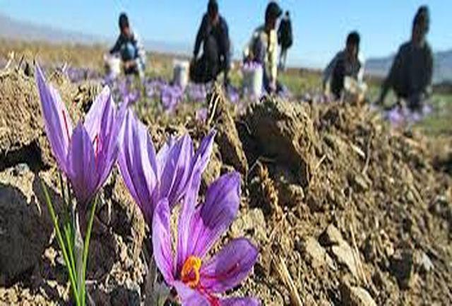 برداشت زعفران از مزارع کشاورزی استان قزوین آغاز شد