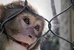 مشاهده 3 قلاده میمون در منطقه آبینام سیاهکل