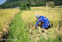 برداشت برنج از شالیزارهای الموت آغاز شد