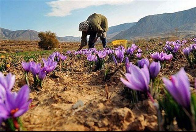 پرداخت تسهیلات ۵۰۰ میلیارد تومانی بانک کشاورزی به صادر کنندگان زعفران
