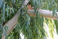 ساماندهی و ایمن سازی ۴۰۰۰ درخت خطر آفرین در سطح شهر