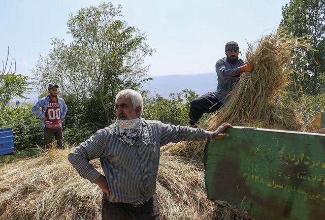 بیش از 500 تن شلتوک برنج از شالیزارهای مشگین شهر برداشت می شود