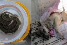 تحویل یک حلقه مار و یک قلاده توله گرگ به محیط زیست در رباط کریم