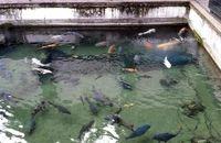 رهاسازی بیش از  100 هزار قطعه کپور ماهی در استخرهای ذخیره آب کشاورزی آذربایجانغربی