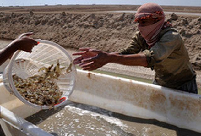 تولید 2 میلیارد قطعه بچه میگو برای پرورش در اراضی ساحلی استان بوشهر