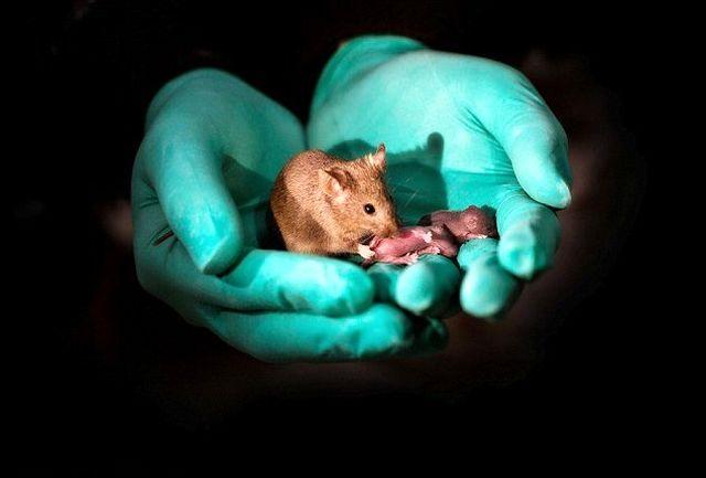 چینیها از 2 موش ماده ۲۹ بچه موش ساختند!