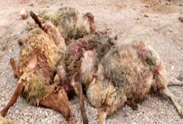 حمله پلنگ به گله یک چوپان در چگنی