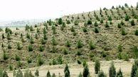 اجرای فاز دوم پروژه کشت صنعتی و متراکم درختان اکالیپتوس با ۸۰ هزار اصله نهال
