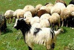کشف 300 رأس احشام قاچاق در داراب
