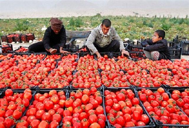 یارانه گوجه فرنگی به کشاورزان استان همدان پرداخت شد