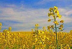 پیشبینی تولید ۱۸ هزار تن کلزا در جنوب کرمان