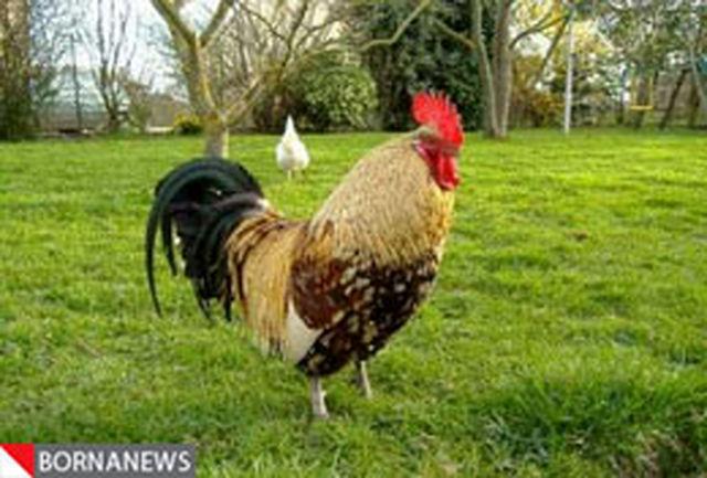 زندگی در کنار مزارع حیوانات خطر بروز سرطان خون را 3 برابر میکند