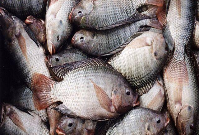تولید 910 تُن ماهی در خراسان شمالی