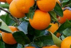 آغاز برداشت پرتقال در شهرستان رودان