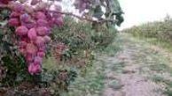 استان سمنان میزبان باغهای مادری پسته، زردآلو، بادام و انگور میشود