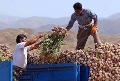 خرید توافقی سیر طارم استان زنجان