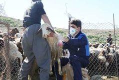 آغاز مایهکوبی رایگان بیماری تب برفکی در دامهای سنگین خوزستان