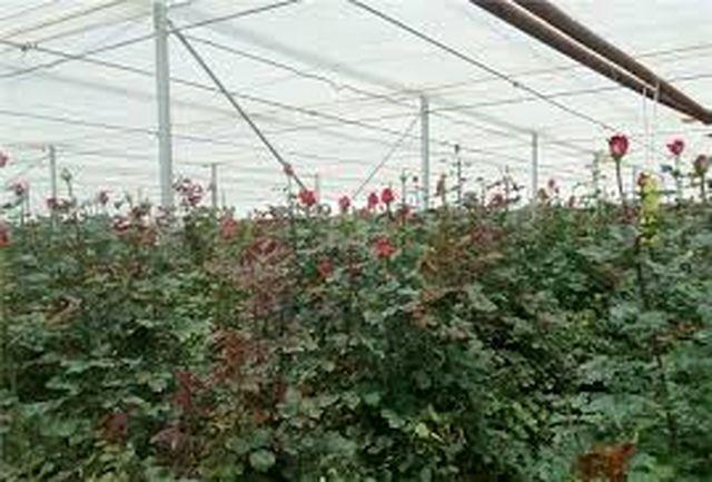 سالانه حدود 13 میلیون گل رز در کهگیلویه وبویراحمد تولید می شود