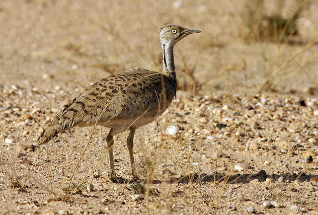 حفاظت محیط زیست کرمان نسبت به شکار هوبره توسط اتباع خارجی هشدار داد