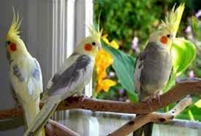 کشف میلیاردی پرنده های قاچاق در یزد