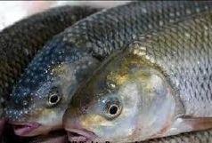 نظارت  ویژه بر عرضه انواع ماهی تازه و منجمد