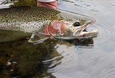 اختصاص بیش از 70 درصد تولید آبزیان کرمانشاه به ماهی
