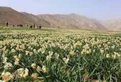 برداشت گل نرگس از مزارع استان