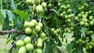 توزیع ۶۰ هزار نهال گواهی شده گردو در کشور