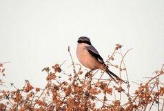 مشاهده گونه نادر جانوری در قزوین