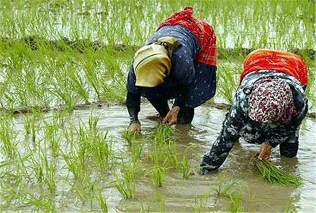 فرصتی برای برداشت برنج در شالیزارها