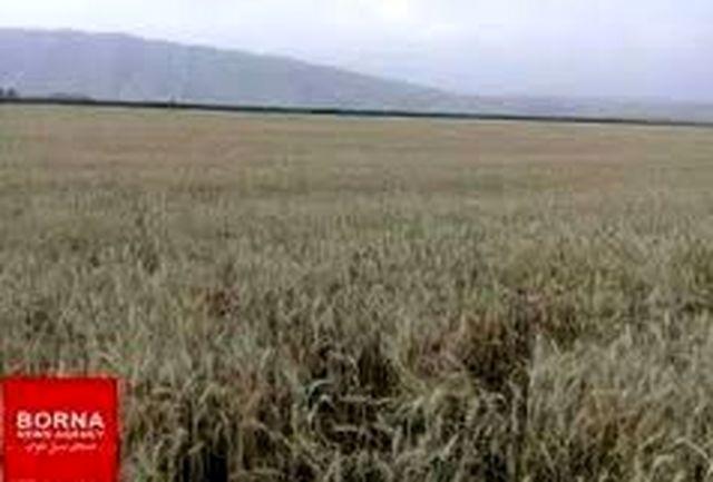 خرید ۱۵ هزارتن گندم مازاد بر نیاز و ۲۶۵ تن  کلزا از کشاورزان لرستانی