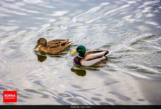 ورود اردکهای سرسبز مهاجر به دریاچه چیتگر