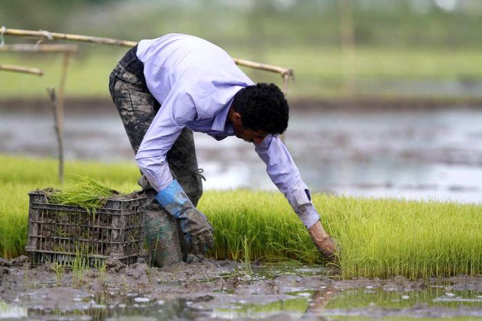 مصوبه ممنوعیت کشت برنج در خارج از استان های شمالی اصلاح میشود