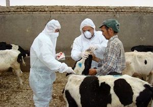اجرای طرح ایمن سازی دامهای استان علیه بیماری بروسلوز و لمپی اسکین